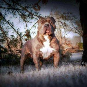 American Bully XL & Pitbull Breeders of XXL Pit Bull Puppies