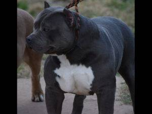 bluenose american bully xl puppy