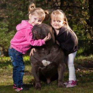 xl american bully size