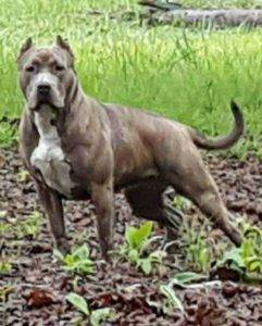 bully breed dog xxl American bully