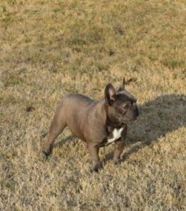 american bully xl dog