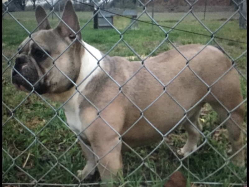 platinum french bulldog puppies for sale