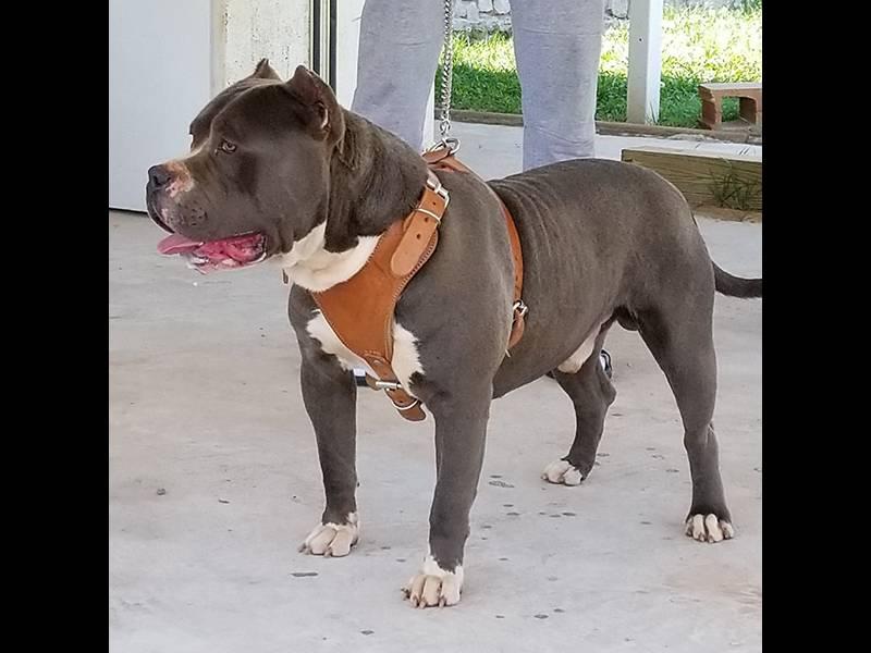xxl bully pitbulls for sale