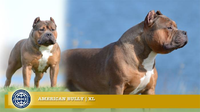 Georgia Pitbull Puppies For Sale, XL Pitbulls, XXL American Bully